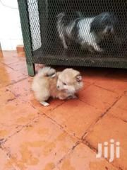 Pomeranian | Dogs & Puppies for sale in Nairobi, Nairobi Central