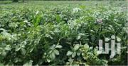 Shangi Potatoes For Sale | Other Services for sale in Trans-Nzoia, Saboti