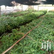 Hass Avagadoes | Feeds, Supplements & Seeds for sale in Uasin Gishu, Ngeria
