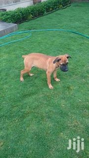 Boerboel Pups | Dogs & Puppies for sale in Machakos, Athi River