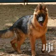 Searching For Gsd Pups   Dogs & Puppies for sale in Nakuru, Gilgil