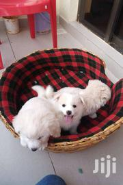 Breed: Japanese Spitz. Age: 6weeks. | Dogs & Puppies for sale in Nairobi, Kileleshwa