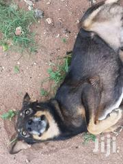 Mix Dogs | Dogs & Puppies for sale in Kilifi, Mnarani