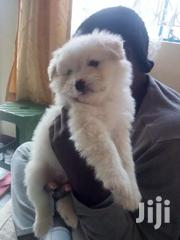 Japanese Spitz / Maltese Puppies | Dogs & Puppies for sale in Nairobi, Viwandani (Makadara)