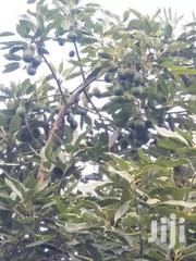 Hass Avocado Fruits | Meals & Drinks for sale in Murang'a, Kinyona