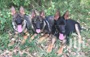 Searching For Dark Sable | Dogs & Puppies for sale in Nakuru, Gilgil