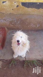 1 And A Half Year Old Terrier | Dogs & Puppies for sale in Uasin Gishu, Huruma (Turbo)