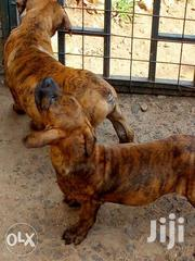 Boerboel Puppies | Dogs & Puppies for sale in Nairobi, Kasarani