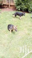 Call Me If You Need Well Trained Dog | Dogs & Puppies for sale in Kapsoya, Uasin Gishu, Nigeria