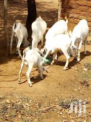 Goats | Livestock & Poultry for sale in Machakos, Syokimau/Mulolongo
