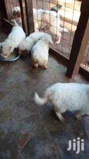 Japanese Spitz For Sale | Dogs & Puppies for sale in Kisumu, South West Kisumu