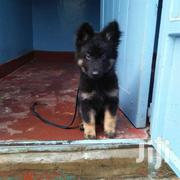 Pure German Shepherd | Dogs & Puppies for sale in Uasin Gishu, Huruma (Turbo)