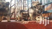 German Shepherd | Dogs & Puppies for sale in Kiambu, Murera