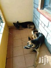 1 Year Old German Shepherd Trained Pregnant  F | Dogs & Puppies for sale in Kisumu, Migosi