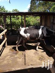 Dairy Cows -ayshire And Fresian | Livestock & Poultry for sale in Kericho, Kapsoit