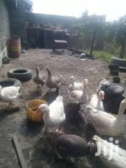 White Geese | Livestock & Poultry for sale in Nakuru, Nakuru East