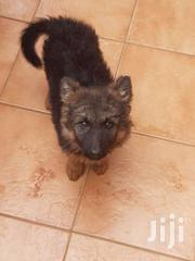 German Shepherd Pups For Sale | Dogs & Puppies for sale in Kiambu, Murera