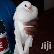Selling Pigeons | Birds for sale in Nairobi, Karen