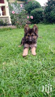 German Shepherd Puppies From Outstanding Puppies | Dogs & Puppies for sale in Nakuru, Lanet/Umoja