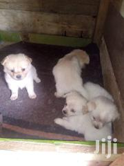 2 Months Chihuahua | Dogs & Puppies for sale in Nairobi, Lower Savannah