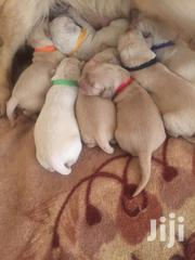 Golden Retriver Puppies | Dogs & Puppies for sale in Nairobi, Kahawa