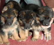 German Shepherd Puppies Availlable | Dogs & Puppies for sale in Uasin Gishu, Huruma (Turbo)