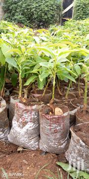 Hass Avocado | Feeds, Supplements & Seeds for sale in Nairobi, Mwiki