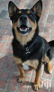 Gsd Cross Rottweiler | Dogs & Puppies for sale in Kisumu, Central Kisumu