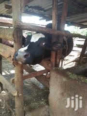 Jessy Cows Ready To Milk   Livestock & Poultry for sale in Murang'a, Makuyu