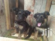 Pure German Shepherd Dogs | Dogs & Puppies for sale in Nairobi, Zimmerman