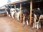 Incalf Heifers And Lactating Cows | Livestock & Poultry for sale in Kiambu, Githunguri