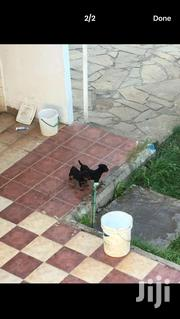 Rottweilers | Dogs & Puppies for sale in Mombasa, Bamburi