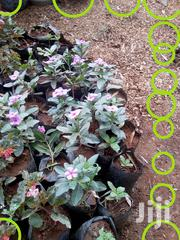 Pinkas Flowers, Bougainvillea And Golden Duranta And Hibiscus Etc | Garden for sale in Nairobi, Karen