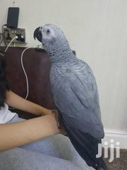 Tam African Grey Parrots For Sale | Birds for sale in Mombasa, Majengo
