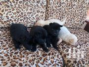 Young Female Mixed Breed Maltese | Dogs & Puppies for sale in Mombasa, Bamburi