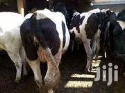 Incalf Heifers On Sale. | Livestock & Poultry for sale in Kiambu, Githunguri