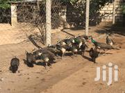 Very Healthy Peacocks On Sale | Birds for sale in Kilifi, Matsangoni