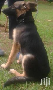 German Shephard | Dogs & Puppies for sale in Siaya, South Gem