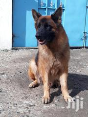German Shepherd Giant Size | Dogs & Puppies for sale in Nairobi, Ruai