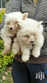 House Maltese Available | Dogs & Puppies for sale in Nairobi, Nairobi Central