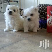 Teacup Maltese Puppies | Dogs & Puppies for sale in Nairobi, Nairobi Central