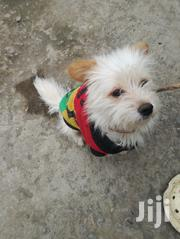 Chihuahua Maltese 1 Year Old Contact For More Information | Dogs & Puppies for sale in Nairobi, Zimmerman