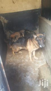 Male And Female Available Of Differemt Ages | Dogs & Puppies for sale in Nairobi, Mountain View