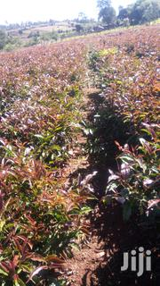 Purple Tea For Supply | Feeds, Supplements & Seeds for sale in Kericho, Kipchebor