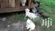 Pure Maltese | Dogs & Puppies for sale in Nairobi, Nairobi Central