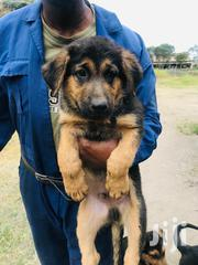 German Shepherd Cross Rottweiler Guard Dog Puppies on Sale | Dogs & Puppies for sale in Machakos, Machakos Central