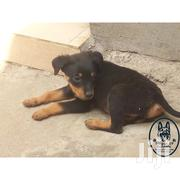 Rottweiler Puppies | Dogs & Puppies for sale in Nairobi, Kahawa