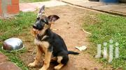 German Shepherd Dogs For Sale | Dogs & Puppies for sale in Nandi, Kabisaga