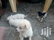 Pappilion & Pommeranian Breed Puppies | Dogs & Puppies for sale in Nairobi, Parklands/Highridge