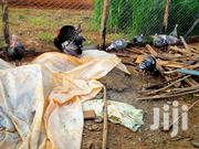 Turkey Birds | Birds for sale in Murang'a, Gatanga